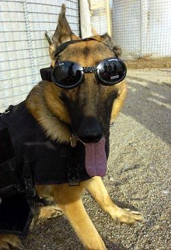 В защите нуждаются и собаки, натасканные на поиск взрывчатых веществ. Фото: Spc. Barbara Ospina/US Army